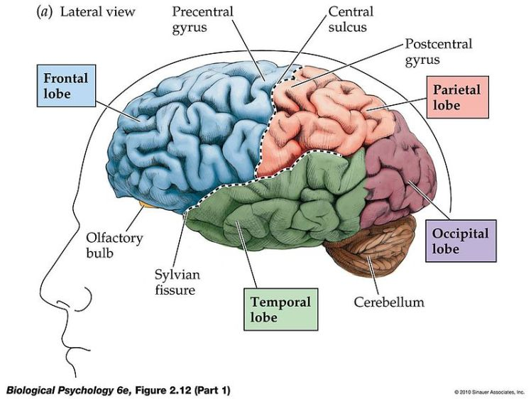 A lateral view of the brain showing the cerebral hemisphere
