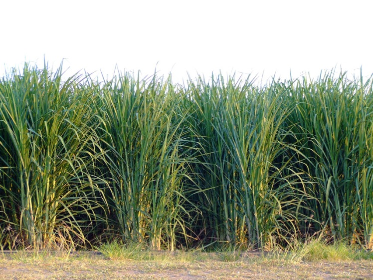 Photo: Sugar cane rows. Large sugar cane plantations mark T&Ts colonial history. Today, agricultural diversification is looking to other areas.